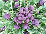 David's Garden Seeds Broccoli Purple Sprouting DGS116 (Purple) 100 Heirloom Seeds