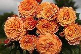 sun loving shrubs Alyf Market Crazy Love Rose Plant Potted | Sunbelt Shrub Bush Heat Loving Repeat Blooming Fragrant Apricot Orange Flowers - Own Root Spring Shipping