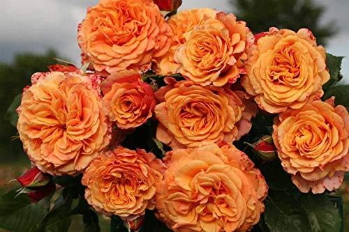 Alyf Market Crazy Love Rose Plant Potted | Sunbelt Shrub Bush Heat Loving Repeat Blooming Fragrant Apricot Orange Flowers - Own Root Spring Shipping