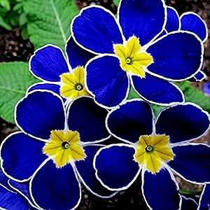 100 piezas coloridas Semillas Primula Malacoides Bonsai en maceta Flores del arco iris Primrose Semillas de China en el exterior Plantas Raras