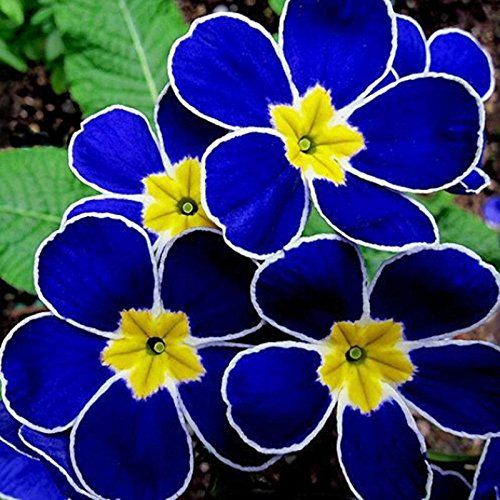 100pcs Bunte Primula malacoides Samen Bonsai Topfregenbogen Primrose Blumen-Samen China im Freien seltene Pflanzen