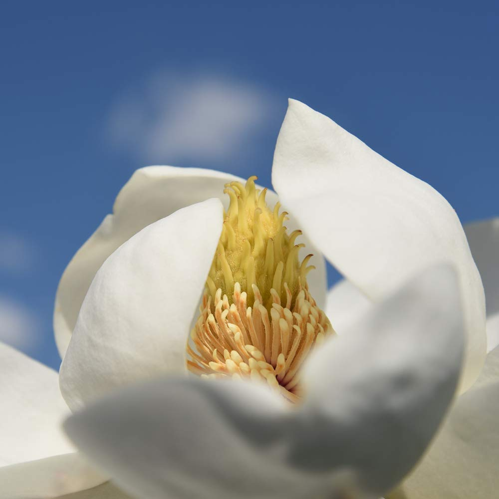 Perfect Plants Little Gem Magnolia Live Plant, 1-2', Includes Care Guide by PERFECT PLANTS (Image #4)
