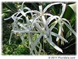10 Bulbs: For Giant White Amazon Crinum Lily, fresh and ready to plant,