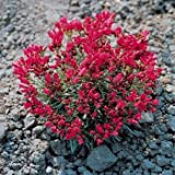 Outsidepride Rock Purslane Seeds - 10000 seeds