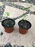 Goji/Wolfberry Berry Plants (Lycium Barbarum) Includes (4) Four Plants