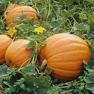 Mammoth Gold Pumpkin Seeds (40 Seed Pack) : Garden & Outdoor
