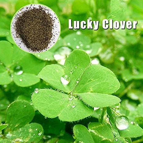 Rosepoem Semillas de plantas de acuario 1 bolsa Semillas de hierba de agua Semilla de Plantas Verdes de Agua trébol de la suerte: Amazon.es: Hogar