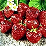 Sweet Charlie Strawberry Fruit Plant Seed 100 Stratisfied Berry Plant Seeds