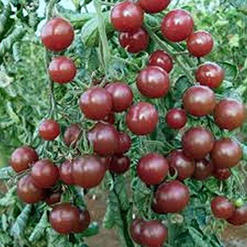 Black Opal Cherry Tomato Seeds [50 - ()
