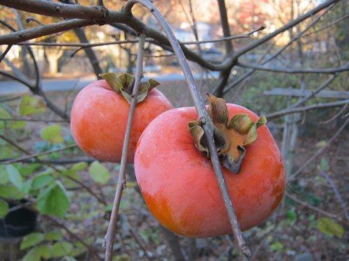 (Organic Heirloom 30 Bulk Seeds Asian Persimmon Tree Seeds Orange Huge Fruit Sweet F17)