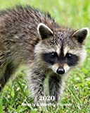 2020 Weekly and Monthly Planner: Raccoon - Monthly Calendar with U.S./UK/ Canadian/Christian/Jewish/Muslim Holidays- Calendar in Review/Notes 8 x 10 in.-Wildlife Animals Nature