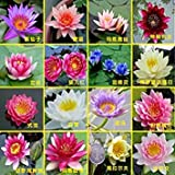 Hydroponic Flowers Small Water Lily Seeds Mini Lotus Seeds Bonsai Seeds Set Hydrophyte - 30 pcs Seeds