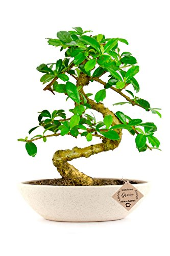 Abana Homes Carmona Indoor Bonsai Live Plants Real for Home with Ceramic Pot