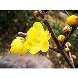 Solution Seeds Farm Heirloom Wintersweet Seeds 10 Seeds Rare Winter Flowering Plum Seed Susan Top Spring Snow