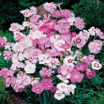 Park Seed Sweetness Dianthus Seeds