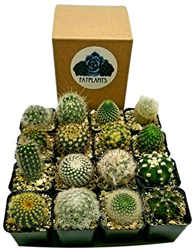 Fat Plants San Diego Mini Cactus Plants in Plastic Planters by Fat Plants San Diego (Image #1)