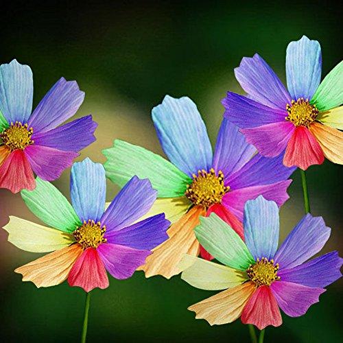 (Rose Iris Tectorum Sunflower Cobaea Scandens Seed, 300Pcs Amazing Rainbow Color Chrysanthemum Seeds Flower Seeds Home Garden Decor)