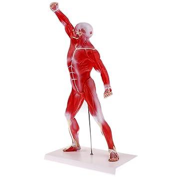 Homyl 1: 4 Menschliche Ganzer Körper Muskeloberflächlich Muskel ...