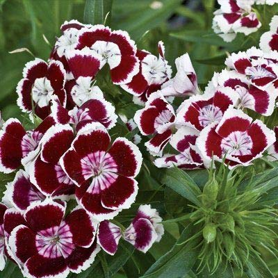 (Holborn Dianthus Miniature Carnation Flower 40 Seeds #SB01)
