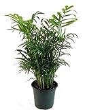 """Hirt's Victorian Parlor Palm - Chamaedorea - 4"""" Pot"""