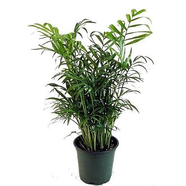 Hirt's Victorian Parlor Palm - Chamaedorea - Indestructable - 4  Pot