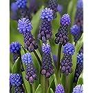 Viridis Hortus - 15 x Muscari latifolium Bulbs (Blue-Purple Flowers)