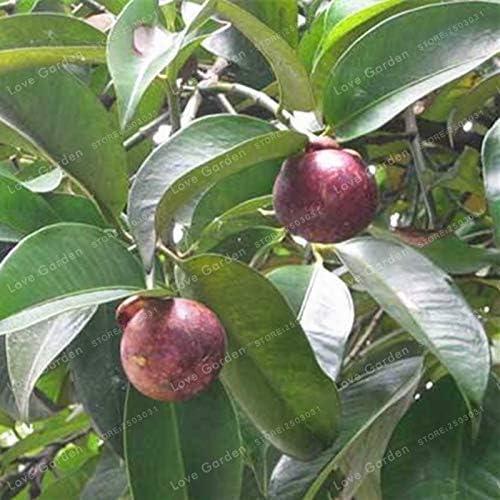 Bloom Green Co. 20 Pcs Garcinia Mangostana Bonsai Evergreen Tree Family Clusiaceae Purple Mangosteen Fruit Bonsai Rate 95% Garden Fruit Plant