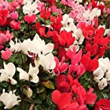Outsidepride Cyclamen Persicum - 50 Seeds