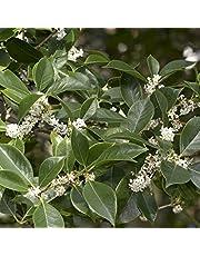 Osmanthus fragrans (Olea fragrans) [Vaso Ø24cm]