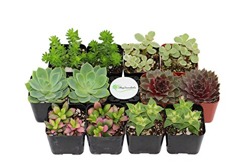 Shop Succulents Assorted Succulent (Collection of 12)