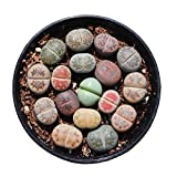 Pack of 8 Live Mini Exotic Lithops Plant Seedlings Perfect for Lithops Starter Great Terrarium Addition FY2018 Seedlings (Pack of 8 Seedlings)