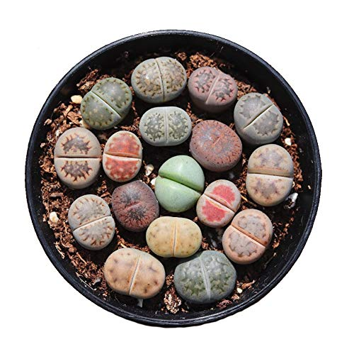 Pack of 8 Live Mini Exotic Lithops Plant Seedlings Perfect for Lithops Starter Great Terrarium Addition FY2017 Seedlings (Pack of 8 Seedlings)