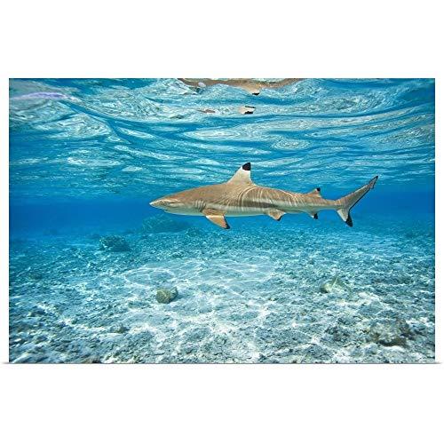 GREATBIGCANVAS Poster Print Entitled French Polynesia, Rangiroa, Blue Lagoon, Blacktip Reef Shark (Carcharhinus Melanopterus) by M Swiet Productions 18