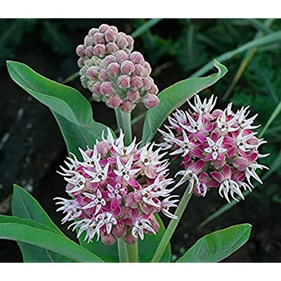 Showy Milkweed Seed Balls for Spring Planting (Asclepias speciosa) (50) : Garden & Outdoor