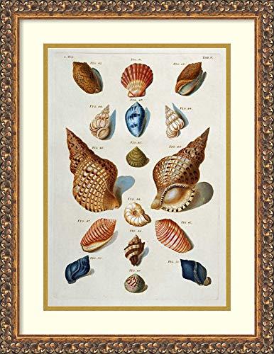 (Framed Wall Art Print | Home Wall Decor Art Prints | A Selection of Seashells by Franz Michael Regenfuss | Traditional Decor)