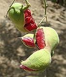 Red Guamuchil 20 Seeds Pithecellobium dulce Tree Madras Thorn Manila tamarind