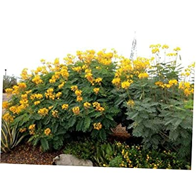 CJI 5 Seeds Caesalpinia pulcherrima Yellow Bird of Paradise Shrub - RK57 : Garden & Outdoor