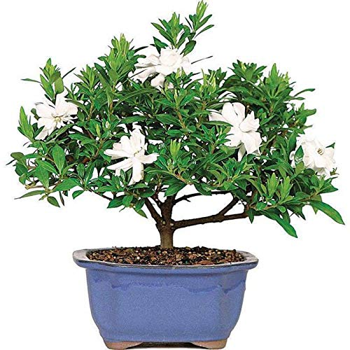 (Caiuet 50Pcs Gardenia Cape Jasmine Seeds White Shrub Flower Seeds Fragrant White Flower Bonsai Garden Decor )