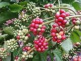 Azalea gardens Indoor Dwarf 25 PCS ROBUSTA Variety of Coffee Bean Heirloom Seeds, Most Popular