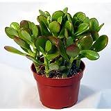 "9GreenBox Jade Plant - Crassula ovuta - Easy to Grow - 2"" Pot"