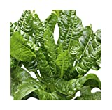 Perpetual Spinach Swiss Chard - Delicious and Nutritious