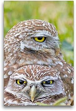 CALVENDO Lienzo 50 cm x 75 cm de Alto, Cuatro Ojos Ven más de Dos: Dos búhos observan su Entorno. Imagen sobre Bastidor. Cunicularia, Florida, Estados Unidos Animales