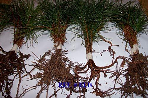 8 Planting White Pine Sapling Trees 12inch Evergreen seedling transplants #HSE by NurserySeedlings.Co (Image #4)