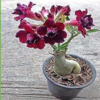 Flowers Point - Adenium Live Plant