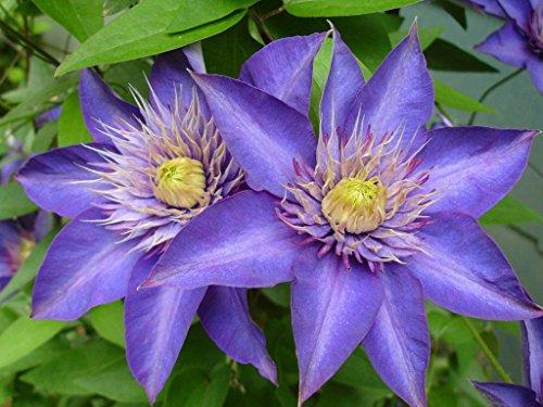 "Multi Blue Clematis - NEW! - Navy Blue Double Flower - 2.5"" Pot"