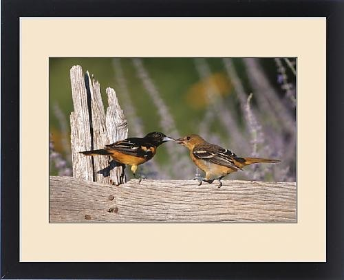 Framed Print of Baltimore Orioles (Icterus galbula) male feeding fledgling on fence near flower by Fine Art Storehouse