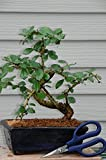 Large Fukien Tea Bonsai Tree Flowers with scissors complete kit with care sheet
