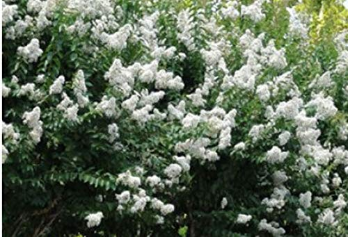 Potted Gallon Plant - Natchez Crape Myrtle - 'Lagerstroemia indica x fauriei' - 2' Tall - Healthy- Gallon Potted Plants - 1 Plant by Growers Solution