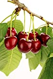 1 Bare Root of Tulare Cherry Tree - 7-8' (Branched - Fruiting Size) (Limited Supply)