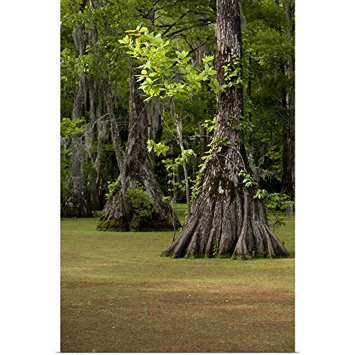 GREATBIGCANVAS Poster Print Entitled North Carolina, Merchants Millpond State Park, Cypress Trees by Paul Souders 12